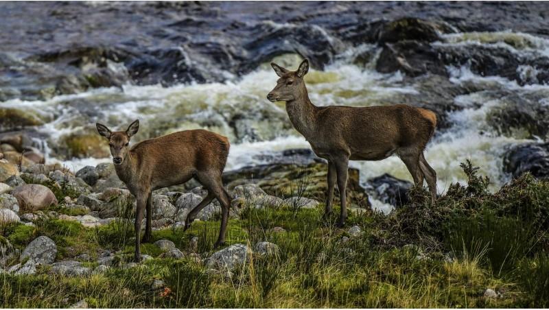 Deer at Glen Etive Falls